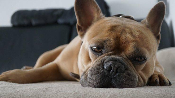Bulldog francese