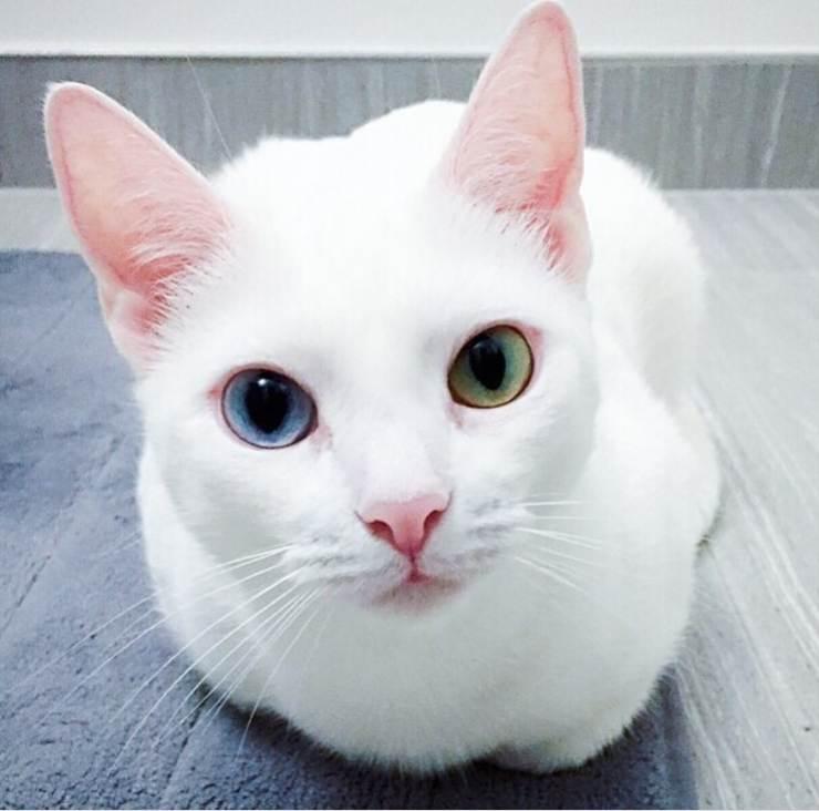 gatta occhi colore diverso