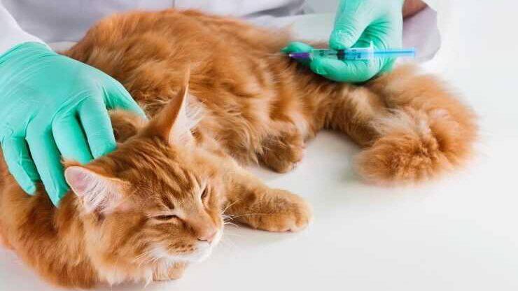 gatto veterinario