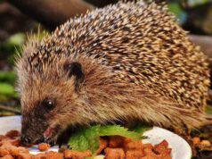 L'incredibile storia del riccio che ruba il cibo ai gatti randagi (foto Pixabay)