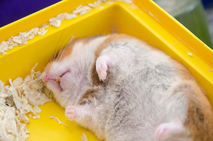 criceto dorme