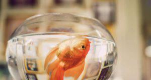 Il pesce rosso è morto all'improvviso