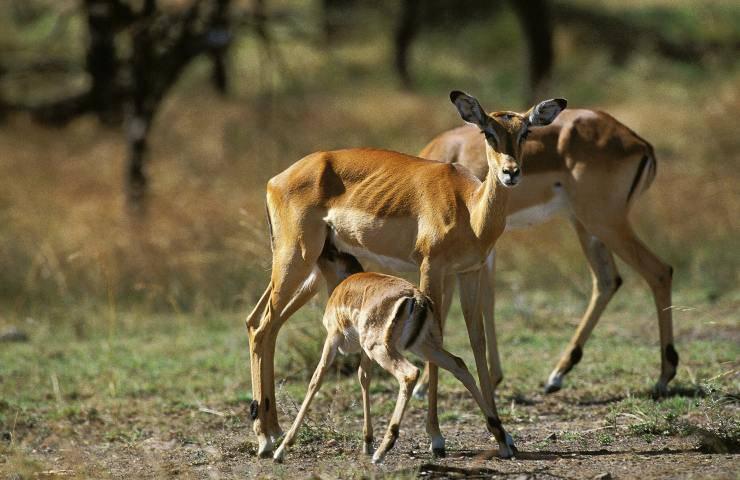 impala e cuccioli