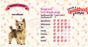 Norwich terrier scheda razza