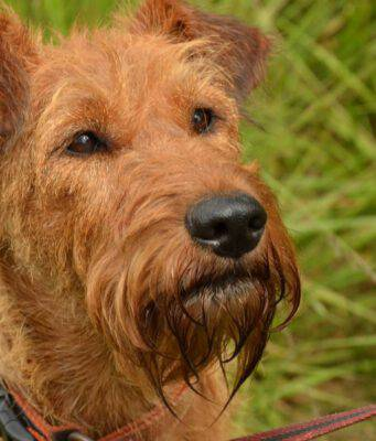 irish terrier irlandese