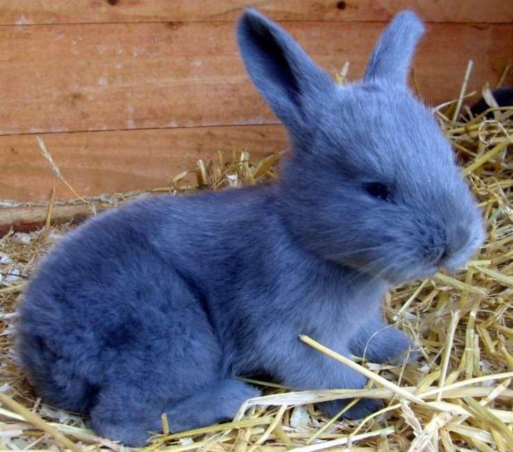 coniglio americano blu