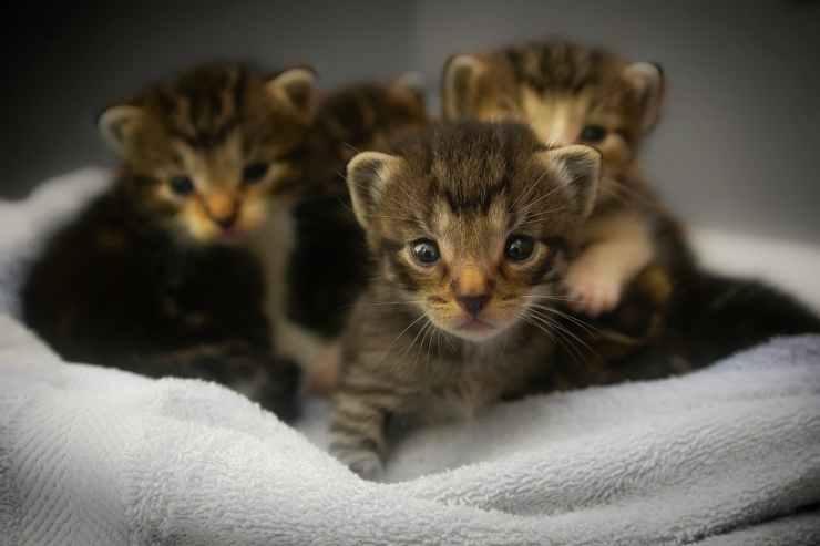 Cuccioli di gatto (Foto Pixabay)