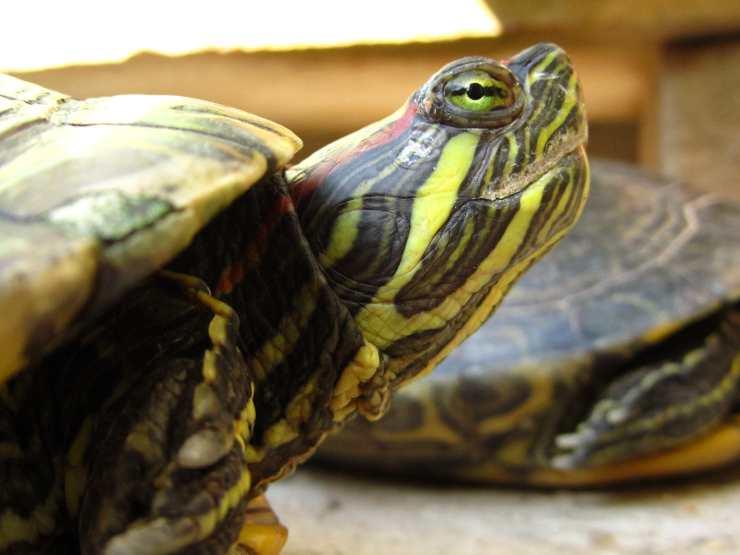 la tartaruga d acqua ha gli occhi gonfi