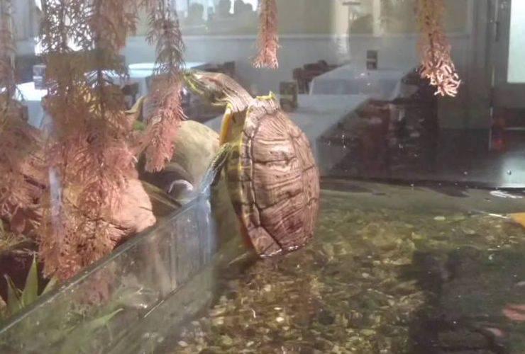 tartaruga scavalca arrampica acquario