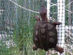 tartaruga scavalca arrampica parete