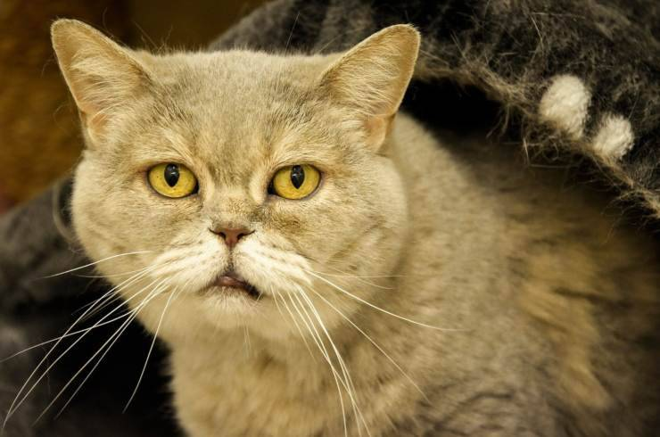 demenza senile gatto