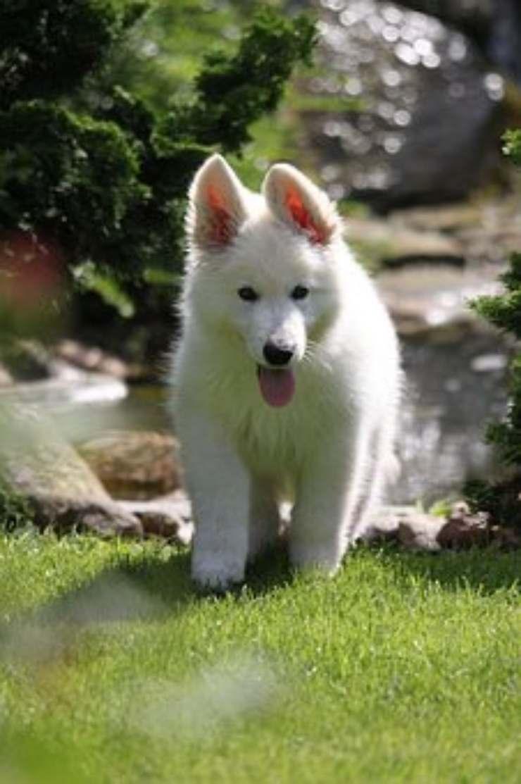 pastore svizzero bianco cucciolo