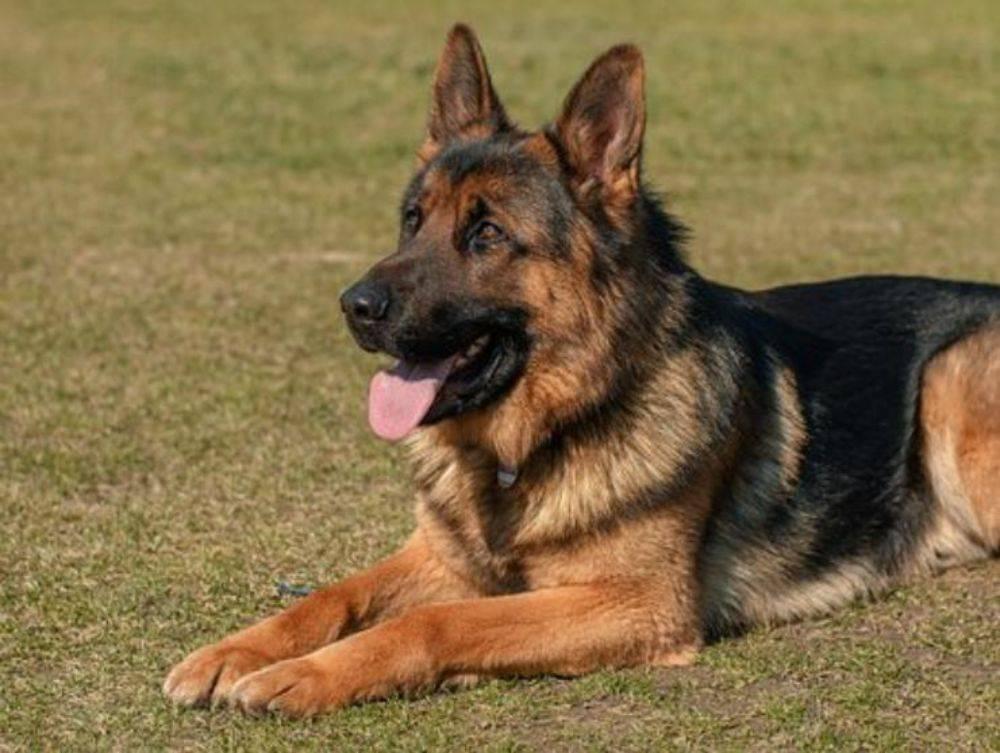 cane pastore tedesco adulto