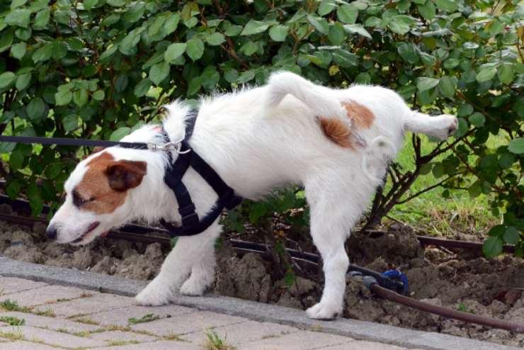 perché il cane alza la zampa per fare pipì