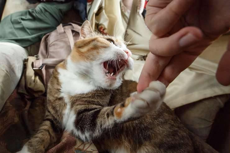 perché il gatto non vuole essere accarezzato