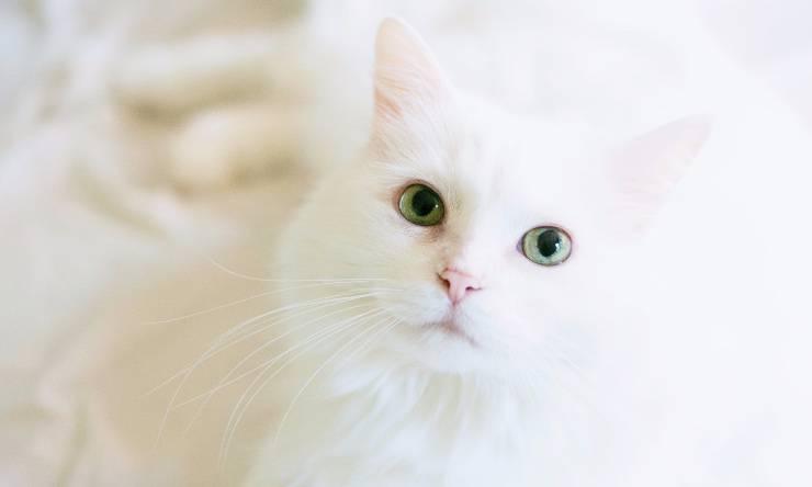 Gatta bianca