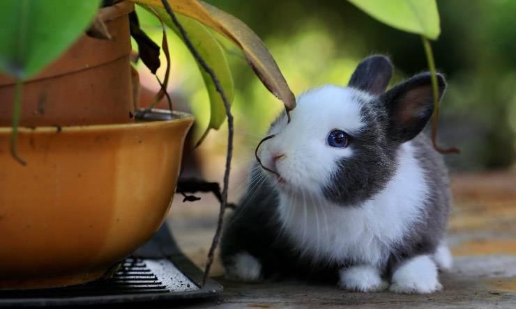 Un coniglio nano