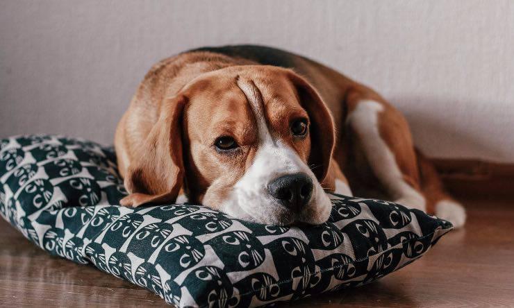 Cane sul suo cuscino