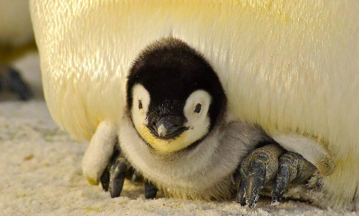 Cucciolo di pinguino imperatore
