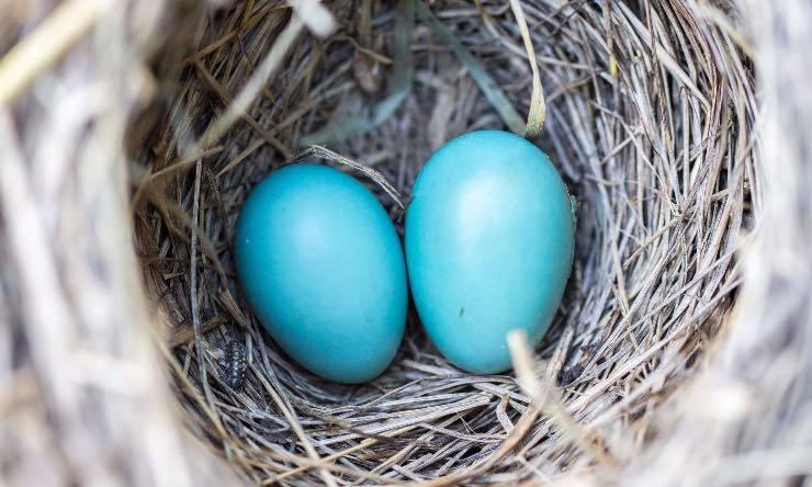 Uova di uccello