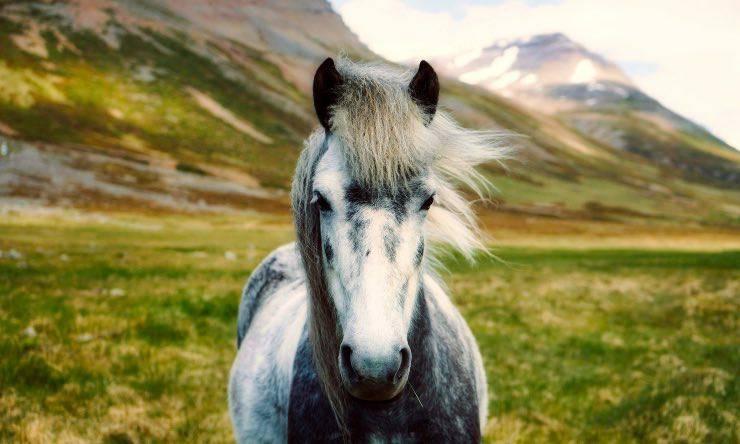 Un mini horse