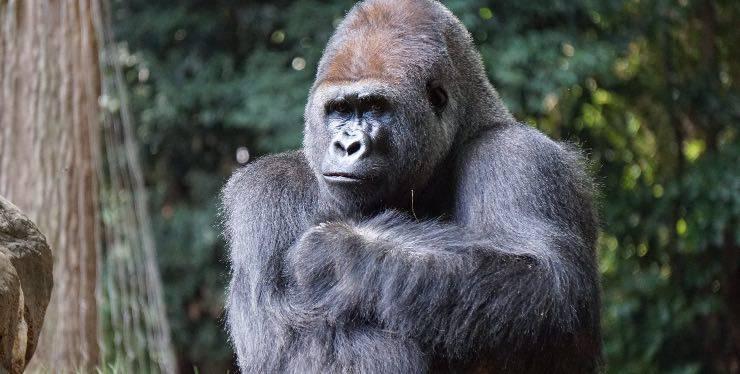 Un gorilla