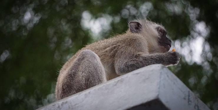 Scimmia che mangia