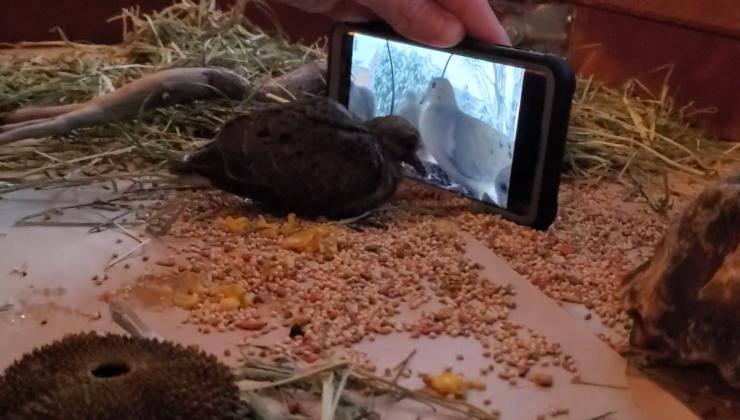 colomba impara mangiare video