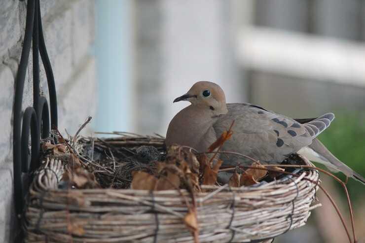 Piccione nido