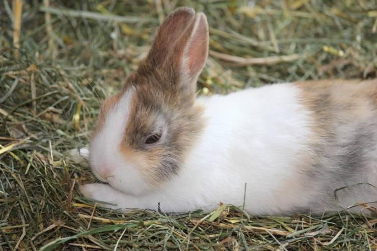 Rogna auricolare del coniglio