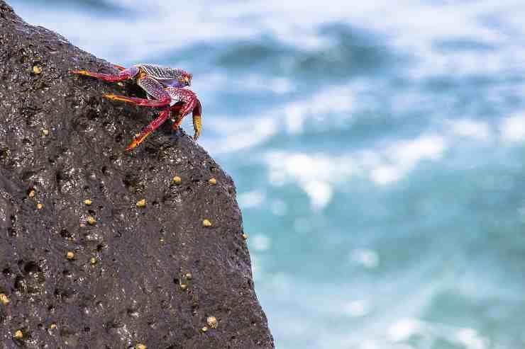 Un comune granchio rosso (Foto Pixabay)