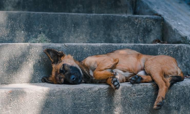 cane svenuto