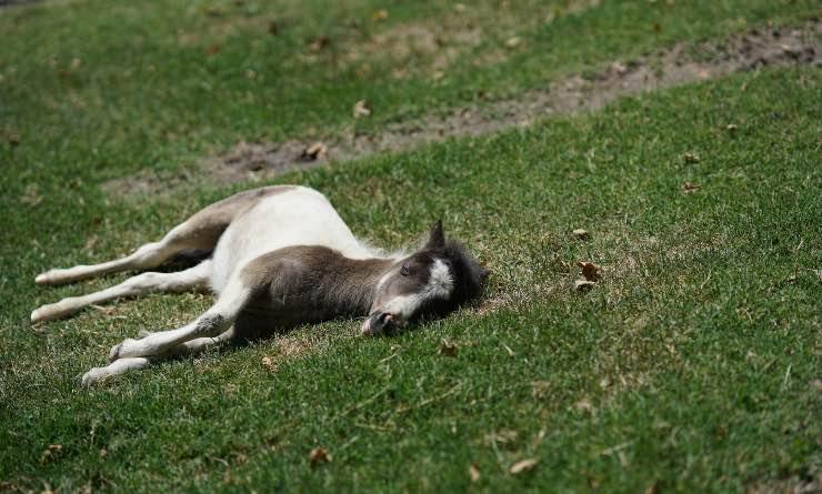 Miniature horse sdraiato