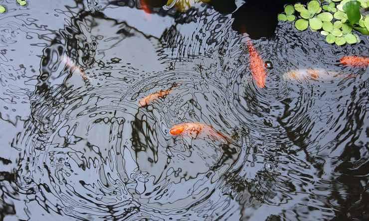 laghetto con pesci