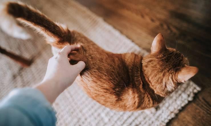 Gatto che si fa accarezzare