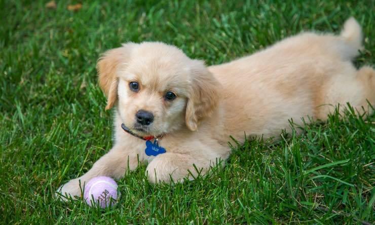 cane con pallina sull'erba