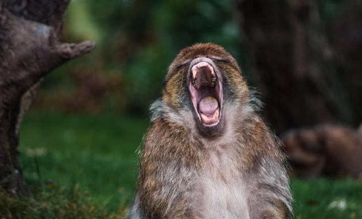 Scimmia che urla