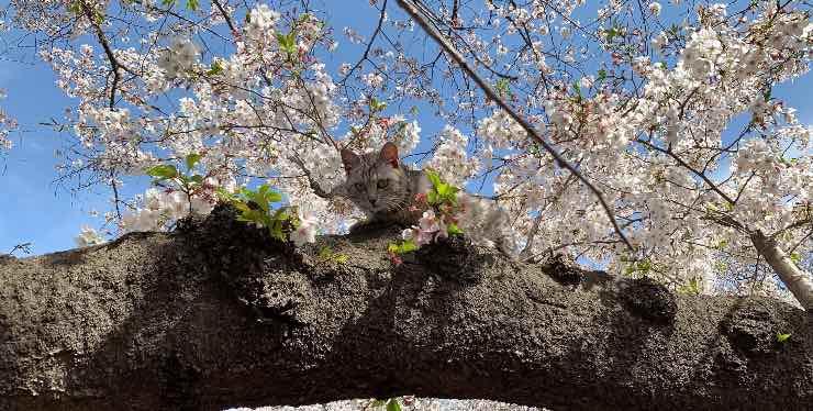 Gatto su albero di ciliegio
