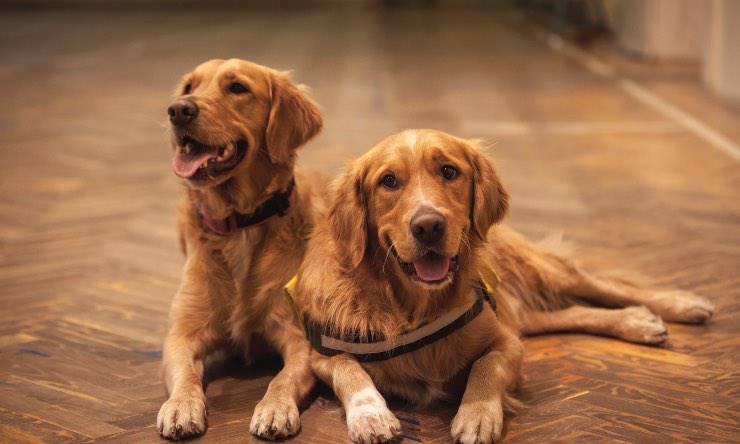 Due cani della stessa razza