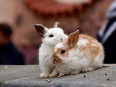 Coppia di conigli nano