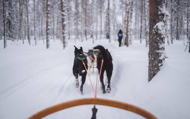 Cani che trainano slitta