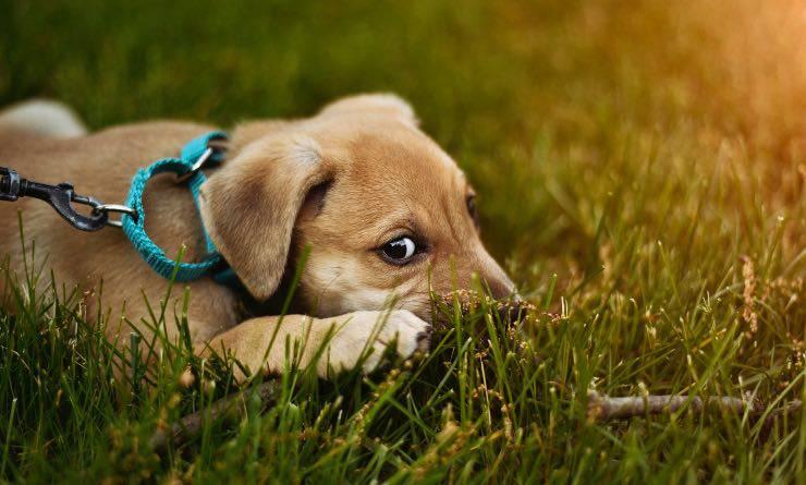 cane a distanza