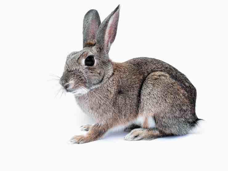 urina del coniglio