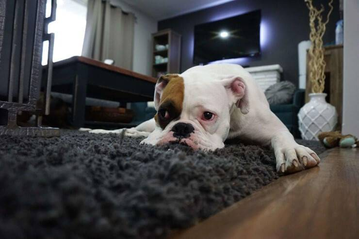 bulldog inglese cane triste