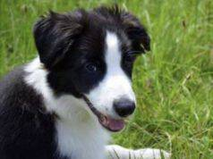 adottare cane border collie padrone ideale