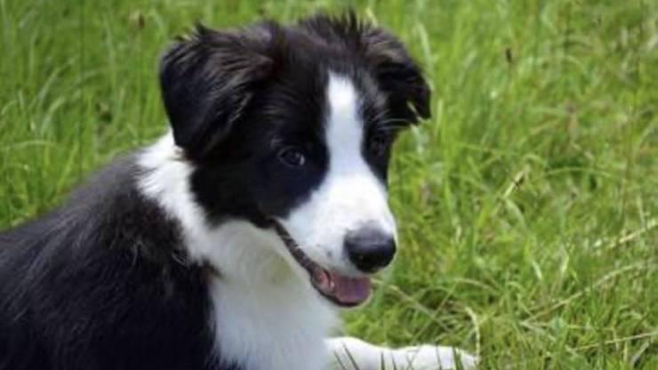 adottare cane border collie padrone ideale