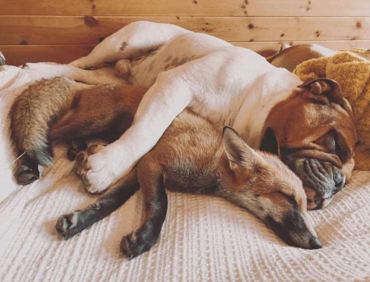 volpe cane bulldog amici