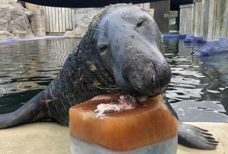 La foca che gusta la torta (Foto Facebook)