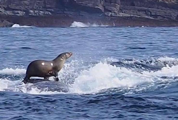 foca mare