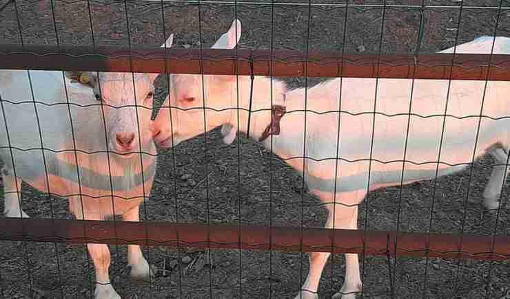 La capre della fattoria (Foto Facebook)